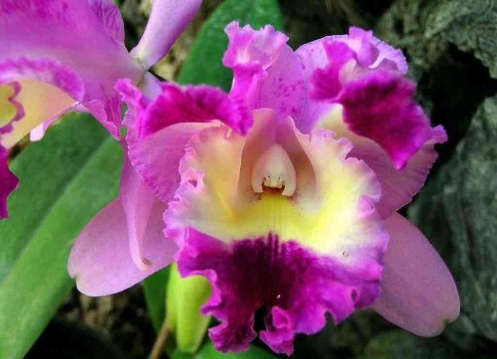 orquideas bicolores