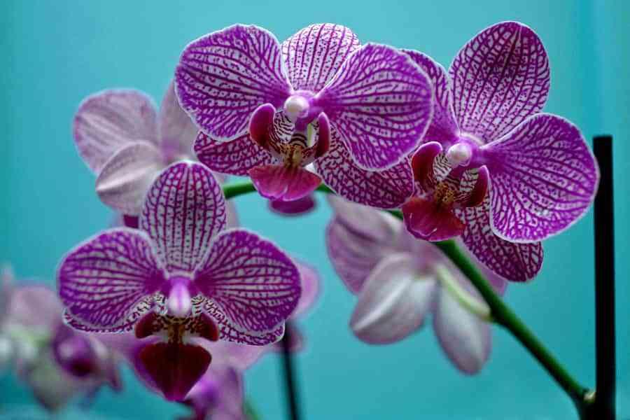 orquideas moradas